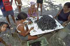 Latino women peel together mussels, Brazil. Brazil, Pernambuco, Recife city: street view in one of the most criminal slums, Santo Amaro, of the city. Women make Royalty Free Stock Photo