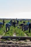 Latinofältarbetare som väljer jordbruksprodukter Royaltyfri Bild