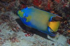 latinsk name drottning för havsängelciliarisholacanthus Fotografering för Bildbyråer