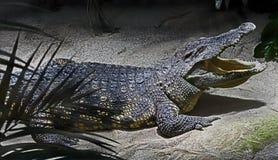 latinsk name siam för krokodilcrocodylus siamensis Arkivbilder