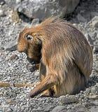 latinsk name theropithecus för baboonkvinnliggelada Arkivfoton