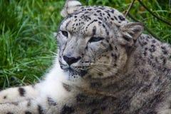 latinsk uncia för leopardnamnsnow Royaltyfri Fotografi
