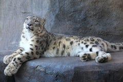 latinsk uncia för leopardnamnsnow Royaltyfria Bilder
