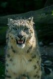 latinsk uncia för leopardnamnsnow Arkivfoton