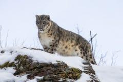 latinsk uncia för leopardnamnsnow Arkivbilder