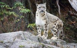 latinsk uncia för leopardnamnsnow Royaltyfri Foto