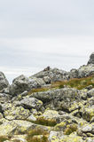 Latirostris del marmota del Marmota Foto de archivo