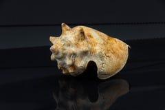 Latirus polygonus Arkivfoto