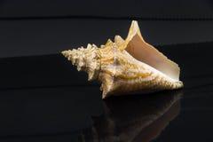 Latirus polygonus Royaltyfri Bild