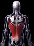 The latissimus dorsi muscle Royalty Free Stock Images