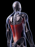 The latissimus dorsi muscle Royalty Free Stock Image