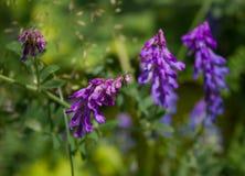 lato łąka z pięknymi purpurowymi kwiatami Obraz Royalty Free
