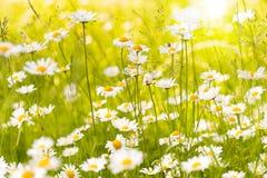 Lato łąka z wołowymi oko stokrotkami Zdjęcia Stock
