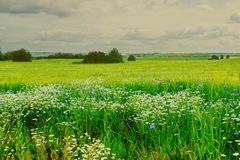 Lato łąki chamomile i cornflowers obraz stock
