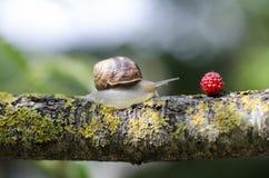 Lato, A ślimaczek na gałąź czołgać się dla czerwonej jagody Fotografia Stock