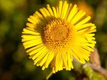 Lato źrebaka ` s Tussilago żółty nożny farfara jeden zakończenie zdjęcie stock