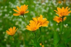 Lato żółty kwiat Zdjęcie Stock