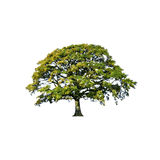 lato abstrakcjonistyczny dębowy drzewo ilustracja wektor