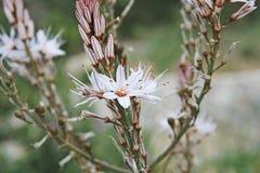Lato asfodla kwiat Obraz Royalty Free