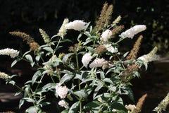 Lato bez, Bush lub Buddleja z białymi kwiatami Obraz Royalty Free