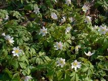 Lato bielu wildflowers Zdjęcie Stock