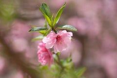 Lato brzoskwini kwitnący okwitnięcie Obrazy Stock