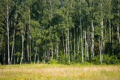 Lato brzozy las Zdjęcie Royalty Free