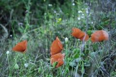 Lato czerwieni maczek Fotografia Stock