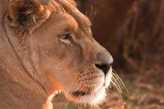 Lato del leone Immagini Stock