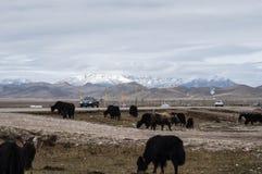 Lato del plateau dei yak della strada Immagini Stock Libere da Diritti