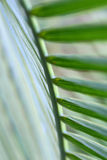 Lato della fronda della palma Immagine Stock