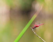 Lato della libellula rosa Fotografia Stock