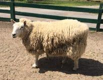 Lato delle pecore Fotografie Stock