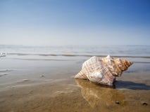 Lato di pleuroploca trapezium sulla superficie dell'acqua Fotografia Stock Libera da Diritti