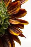 Lato di un girasole rosso e giallo Immagini Stock