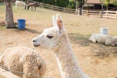 Lato diritto bianco della lana dell'alpaga Fotografie Stock