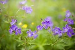 Lato fiołek i purpurowi kwiaty, selekcyjna ostrość, Norwegia zdjęcie stock