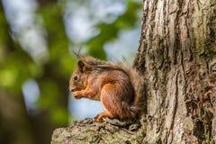 Lato Futerkowy zwierzę, puszysta wiewiórka w swój naturalnym siedlisku obraz stock