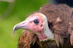 Lato incappucciato dell'avvoltoio sul ritratto Immagini Stock