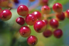 Lato jaskrawe czerwone jagody viburnum Zdjęcia Royalty Free