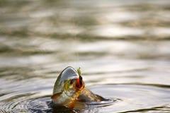 Lato jeziornego połowu czerwionki ryba Fotografia Stock