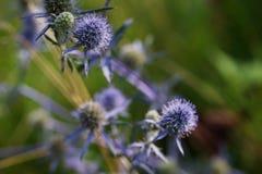 Lato kłujący kwiaty purpurowi dzicy osety na jaskrawym - zielony tło (eryngium planum) Fotografia Stock