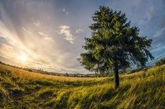 LATO krajobraz świerczyna w polu przy zmierzchem, wykoślawienia fisheye obiektywu perspektywiczny widok fotografia royalty free