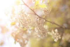 LATO krajobraz krzak kwitnąca akacja zdjęcie stock