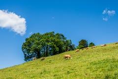 Lato krajobraz z krowy pasaniem na świeżej zielonej górze wypasa Zdjęcia Stock