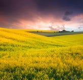 pole żółci kwiaty obrazy stock