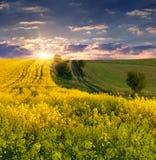 Pole żółci kwiaty. Obrazy Stock