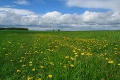 lato krajobraz z widokiem żółtych dandelions na zieleni polu Fotografia Royalty Free