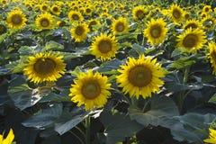 lato krajobrazowy słonecznik Obraz Royalty Free