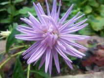 Lato kwiat Zdjęcia Royalty Free